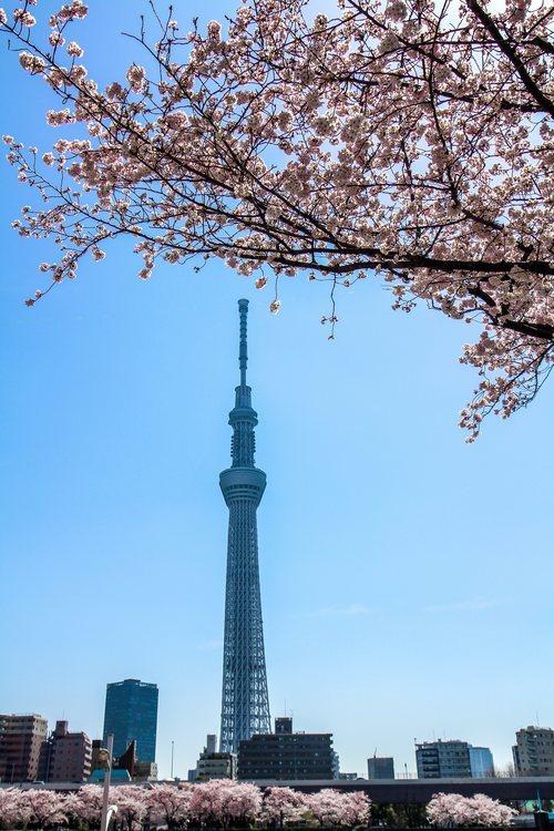 La Tokyo Skytree, vista desde el río Sumida con Sakura de fondo y en primer plano.