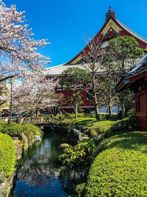 Sakura en los jardines del templo Sensoji en Asakusa, Tokio